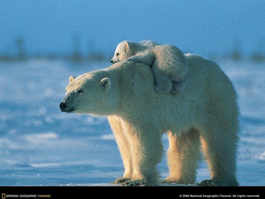 polar bear and baby 3 Cute Polar Bears    Polar bear pictures